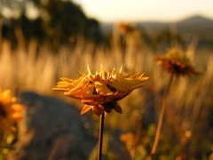 paper daisy in the setting sun