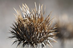 spiky weed
