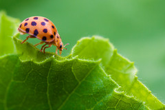 ladybeetle on leaf